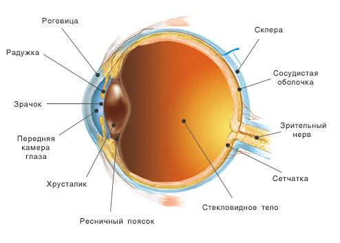 Реферат Строение глаза all referats com Сайт рефератов  Строение глаза