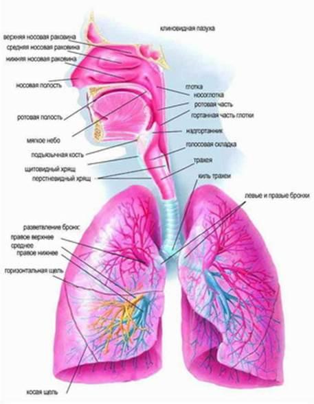 Дыхательная система у детей реферат 1005